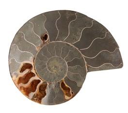 Ammonite - Modello C (Grande)