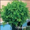 Cerfoglio Antrhiscus Cerefolium 25 gr - K30