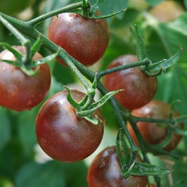 "Pomodoro Ciliegino ""Black Cherry"" - to16"