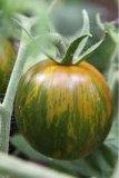 B478 - Pomodoro Green Zebra - 1 g