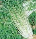 B480-25 - Brassica Mizuna - 25 gr
