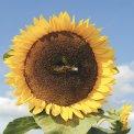 Fiore Annuale Girasole Atlanta - b143