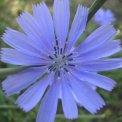 Fiore Perenne Cicoria Selvatica