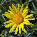 Fiore Perenne Occhio di Bue - b509