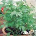 Levisticum Officinale 2 gr - K40