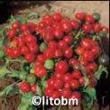 Peperone Ciliegia 5 gr - B603