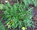 BU093 - Rucola Selvatica - 2 gr