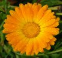 Semi di Calendula Officinalis