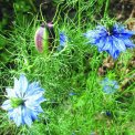 Nigella Damascena - b169