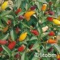 Semi di Peperone Fuoco della Prateria 100 semi - G302