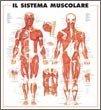 Sistema Muscolare - Poster