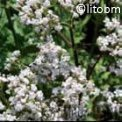 Valeriana Officinalis 2 gr - B419