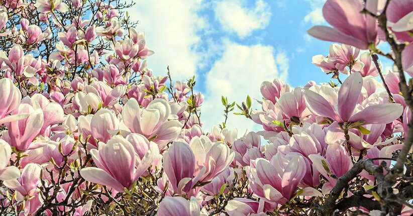 Ansia, gestiamola con la magnolia
