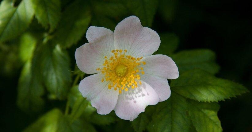 Aspettative deluse? Ecco Wild Rose, fiore di Bach