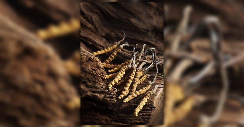 Cordyceps Sinensis, il fungo dell'energia