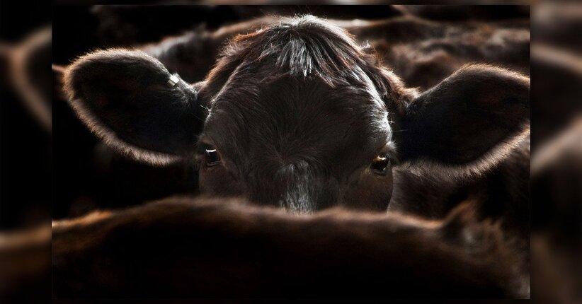 Cowspiracy: dal documentario al saggio
