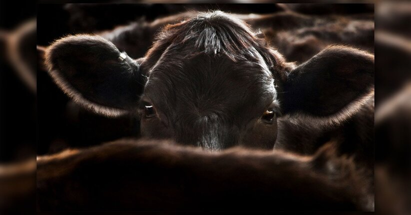 Cowspiracy: dal documentario al saggio