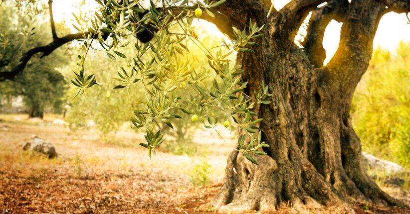 Estratto di foglie di olivo: i benefici
