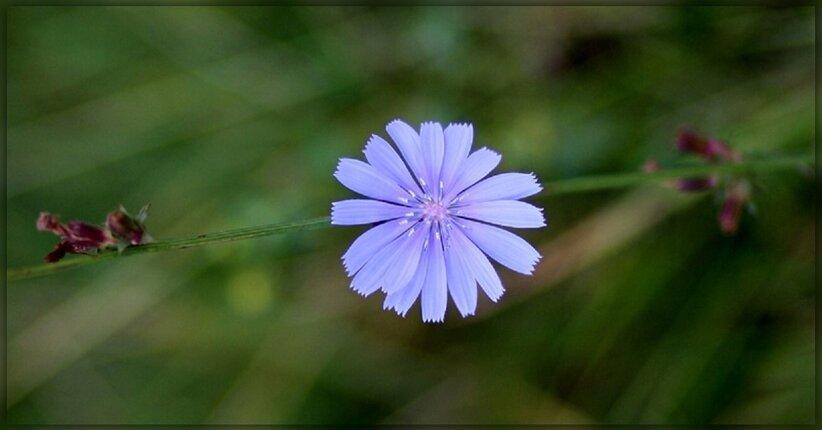 Fiori di Bach: Chicory, il fiore dell'attaccamento