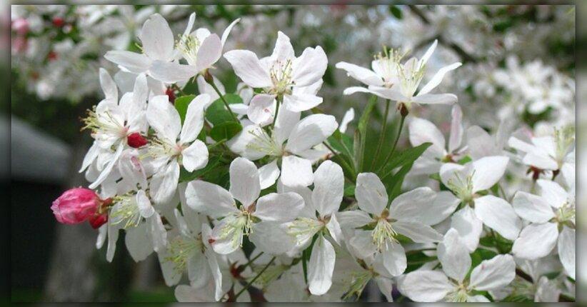 Fiori di Bach: Crab Apple e il bisogno di far pulizia