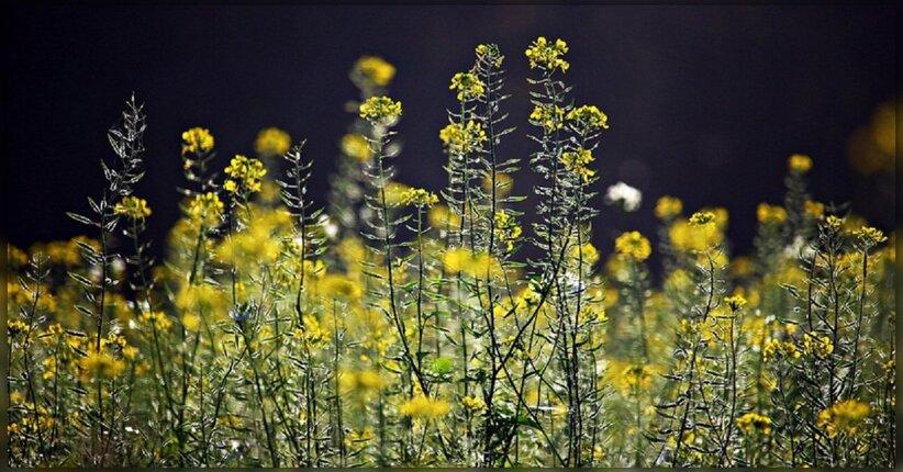 Fiori di Bach: se ti senti spesso triste Mustard può aiutarti!