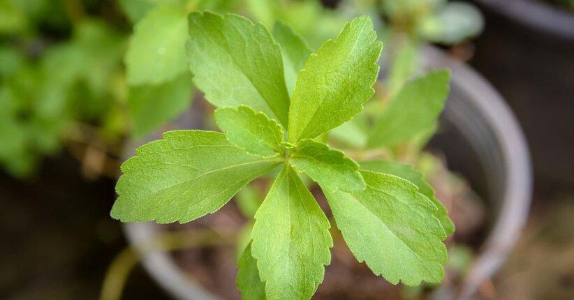 Guida alla Coltivazione della Stevia