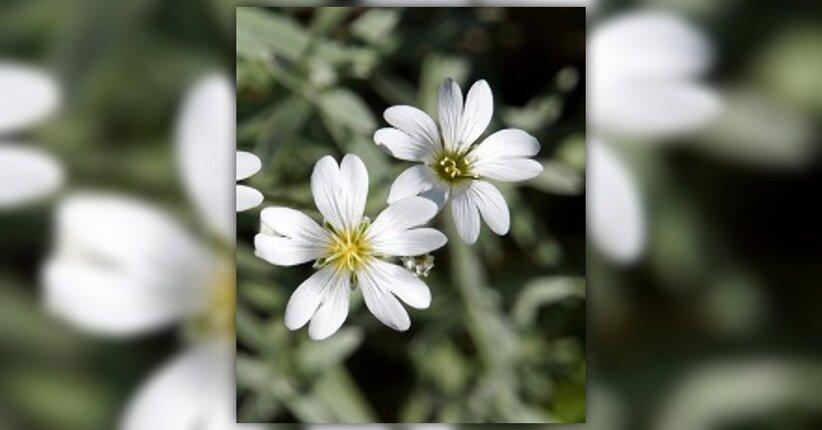 I fiori di Bach sostengono il sistema immunitario?