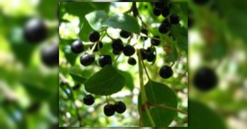 Bacche di Maqui: il nuovo antiossidante naturale