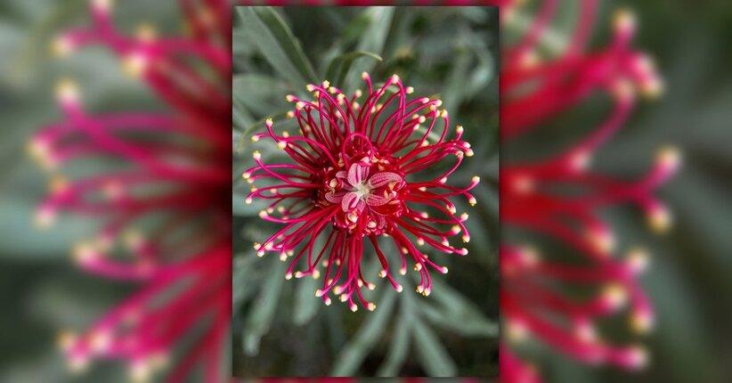 La floriterapia australiana: quali sono i due diversi sistemi e le loro caratteristiche