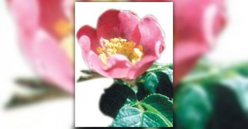 La Rosa Mosqueta e le sue proprietà