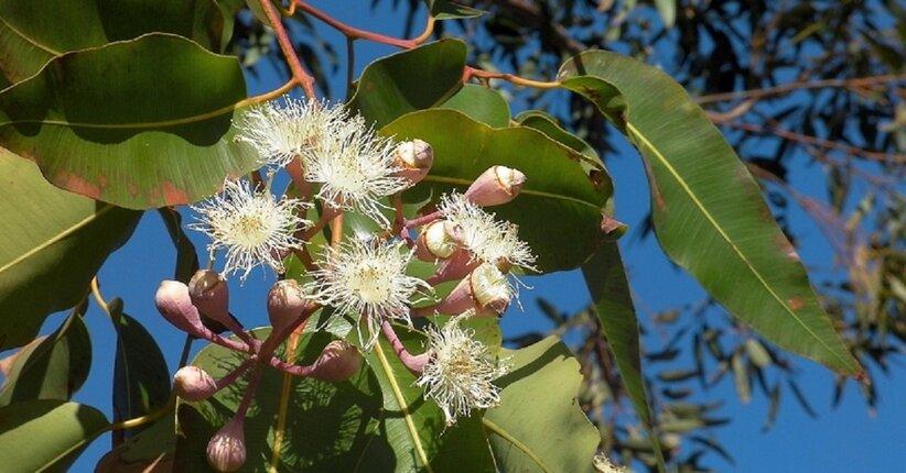 Olio essenziale di eucalipto per l'inverno