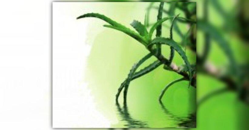 Preparato di Aloe Arborescens, un concentrato di benessere
