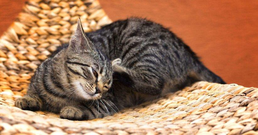 Pulci e zecche nel cane e nel gatto - Pulci nel letto ...