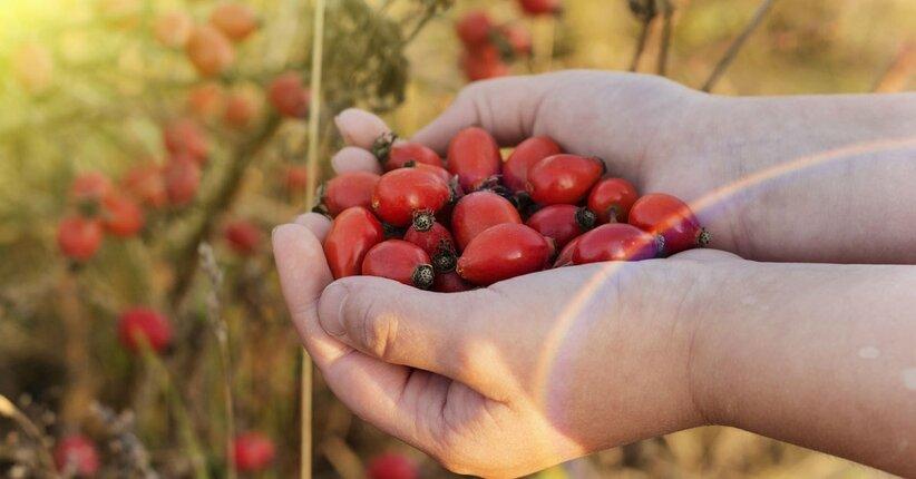 Rosa Canina: proprietà e benefici per un inverno di salute