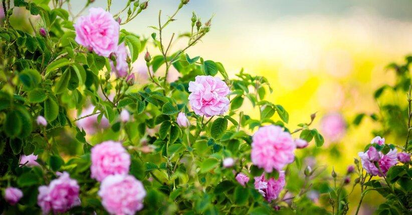 Rosa Damascena: il profumo del Paradiso
