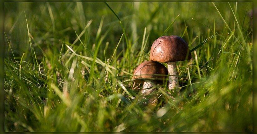 Scegli i funghi medicinali giusti!