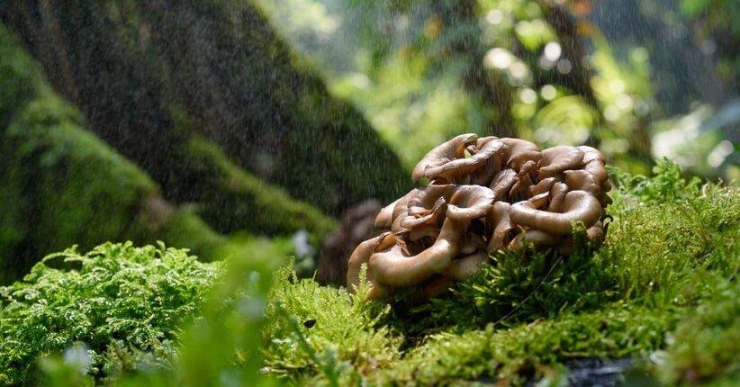 Scopri 3 mushroom speciali: Reishi, Shiitake e Maitake  sono funghi dalle incredibili proprietà