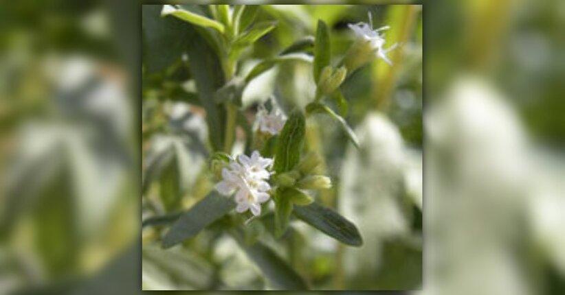 Stevia rebaudiana pianta per la decrescita felice for Stevia pianta