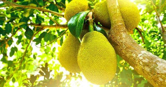 """Jackfruit: La """"carne"""" che cresce sugli alberi"""