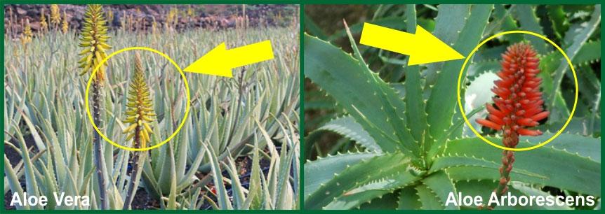 Aloe Arborescens E Aloe Vera Qual E La Migliore