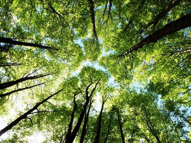 Gli spiriti degli alberi di remedia for Tiglio albero